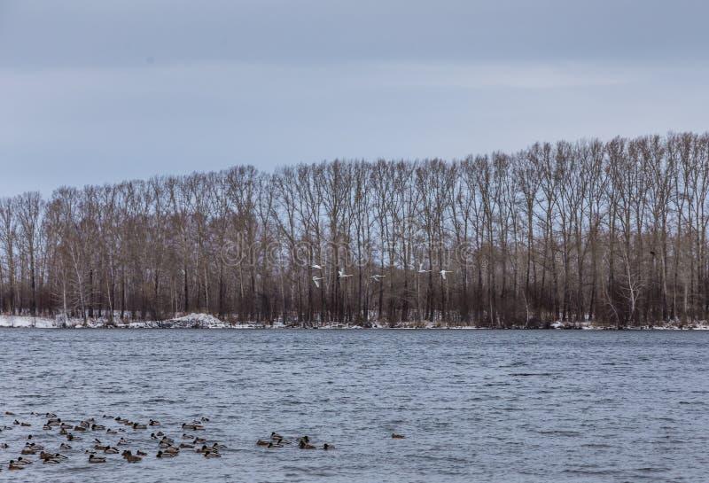 De wilde zwanenwinter op het warme Svetloye-meer dichtbij het dorp van Urozhaynoe, Altai, Rusland stock afbeeldingen