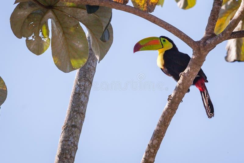 De wildernis van de Tucanvogel stock afbeelding