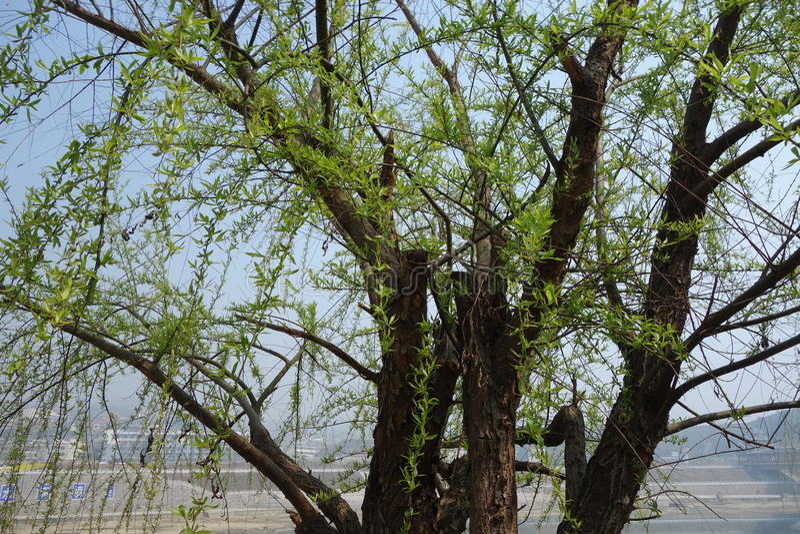 De wilgen kweken nieuwe bladeren stock foto's