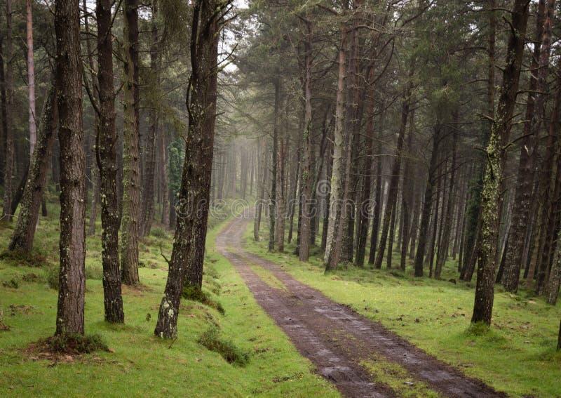 De windende weg van het vuilgrint door zonnig groen pijnboombos dat door zonnestralen door mist wordt verlicht stock fotografie