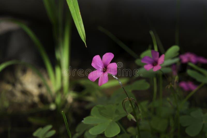 De winderige roze bloem in het bos schoot in de middag met groen gras op de achtergrond stock foto's