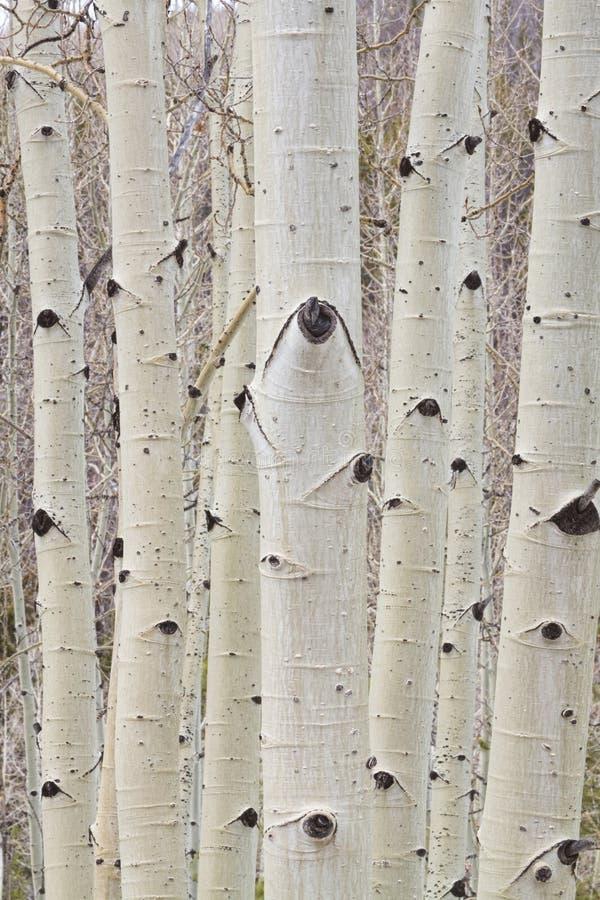 De winter Aspen Tree Forest Portrait royalty-vrije stock foto's