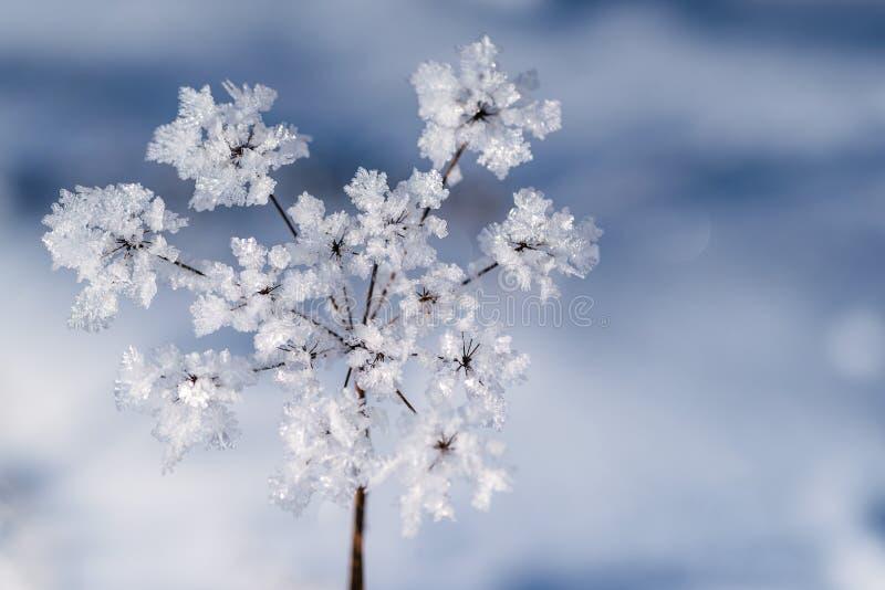 De winter bevroren achtergrond in aard, het bevriezen kristallen op gras, macrofotografie stock foto's