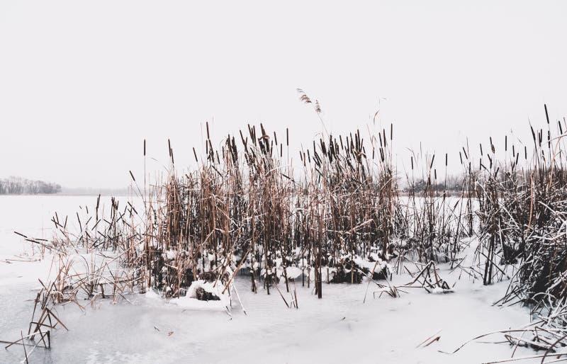 De winter in Engeland Bevroren meer met riet royalty-vrije stock afbeelding