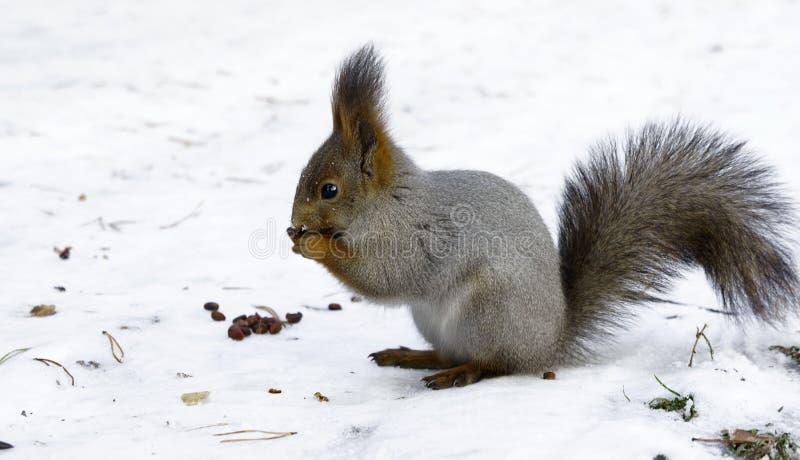 De winter het voeden van een eekhoorn stock afbeelding
