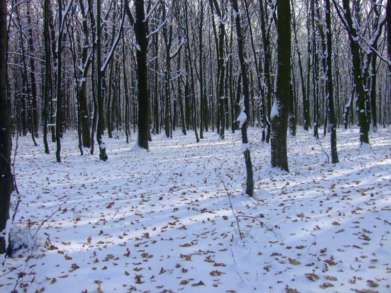 De winter Oekraïens bos Polesya De Oekraïne 2017 stock afbeeldingen