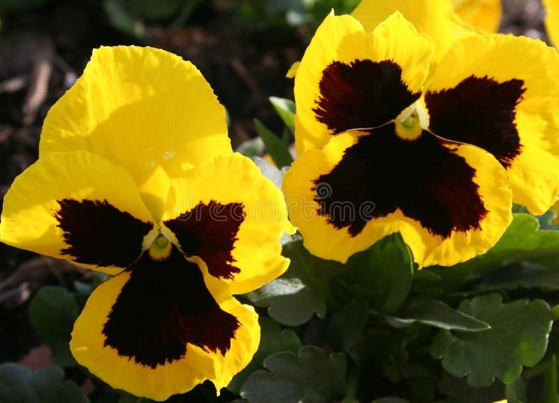 De winter Pansies royalty-vrije stock fotografie