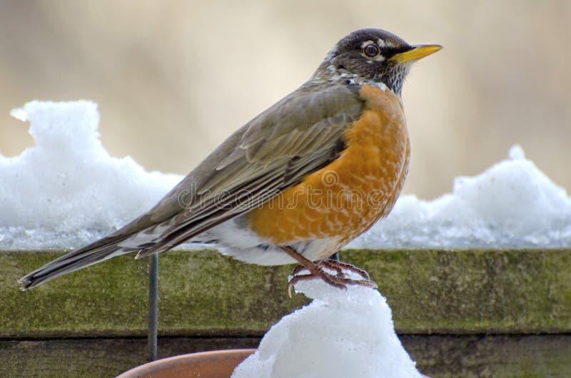 De winter Robin royalty-vrije stock foto
