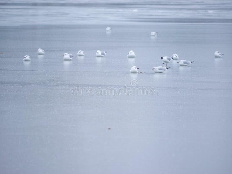 De winter van de ijszeemeeuw stock afbeelding
