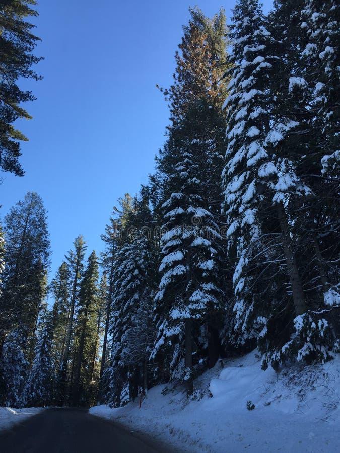 De winter van Yosemite van sneeuwpijnbomen stock foto