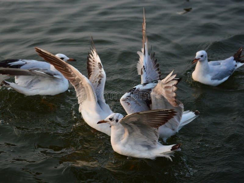 De winter visiter zeemeeuwen op de Rivier van Ganges in Benaras stock fotografie