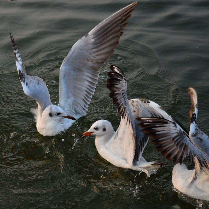De winter visiter zeemeeuwen op de Rivier van Ganges in Benaras royalty-vrije stock foto