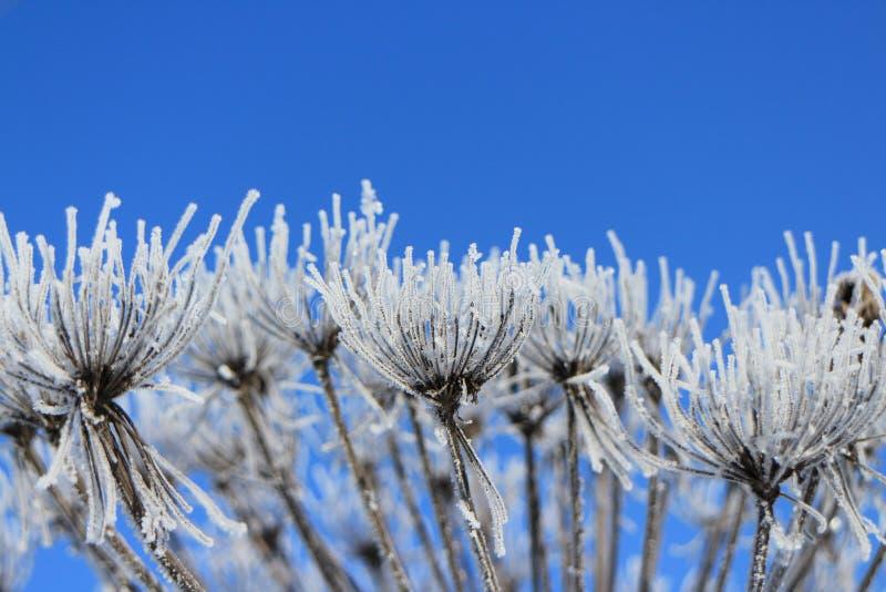 De winter Witte bloemen tegen de blauwe hemel stock afbeeldingen