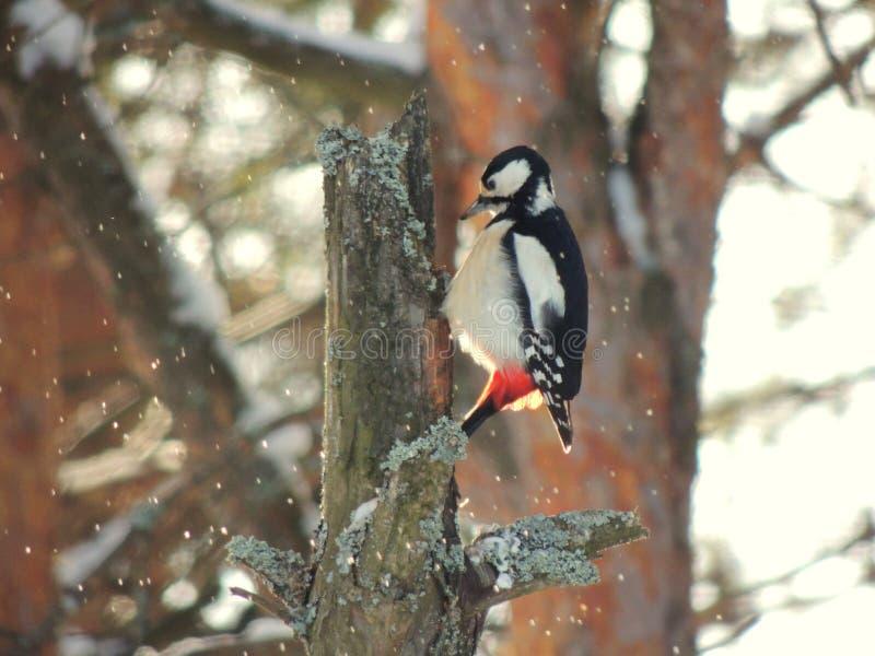 De winter woodpecker royalty-vrije stock afbeeldingen