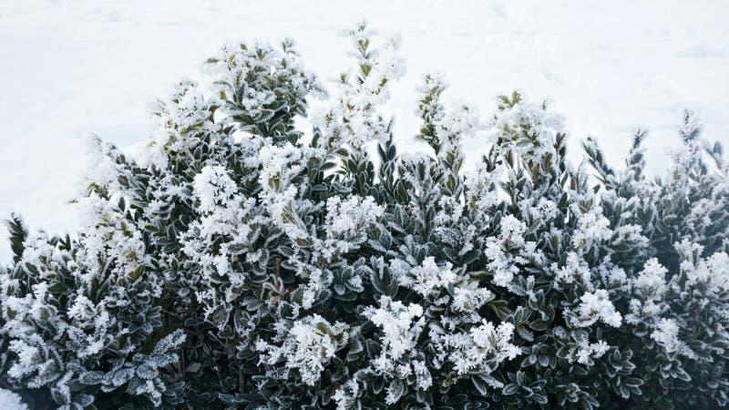De winterachtergrond met ijzig bukshout stock fotografie