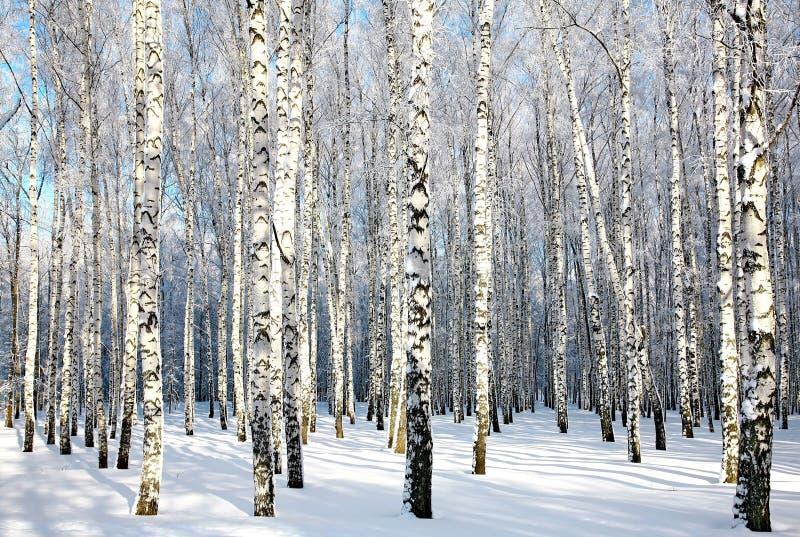 De winterberkehout in zonlicht royalty-vrije stock afbeelding