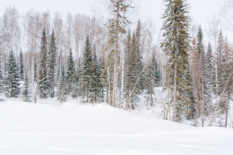 De winterbos, taiga Bos in de winter in Siberië Taigapijnbomen in de winter Bomen onder de sneeuw stock foto
