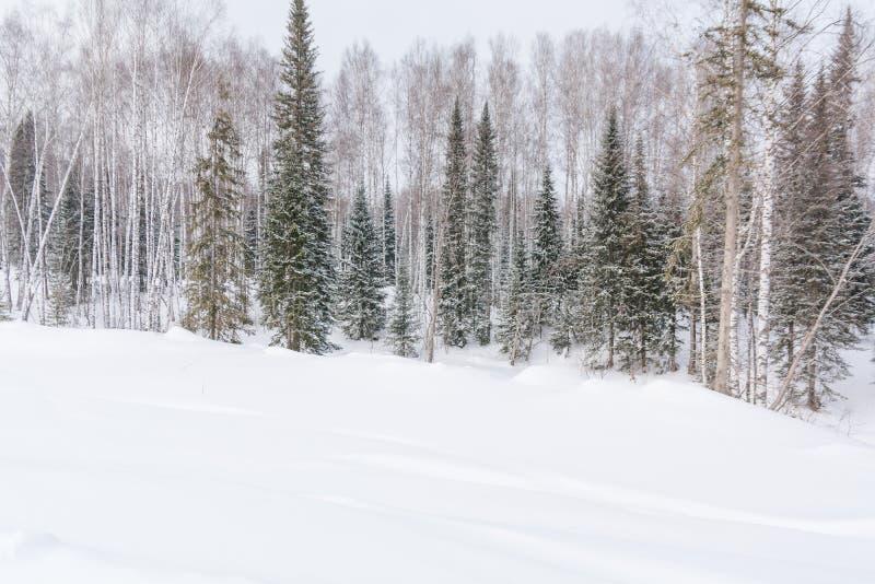 De winterbos, taiga Bos in de winter in Siberië Taigapijnbomen in de winter Bomen onder de sneeuw royalty-vrije stock afbeelding