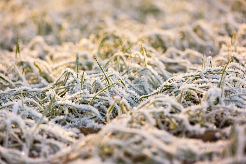De wintergewassen onder eerste sneeuw stock afbeeldingen