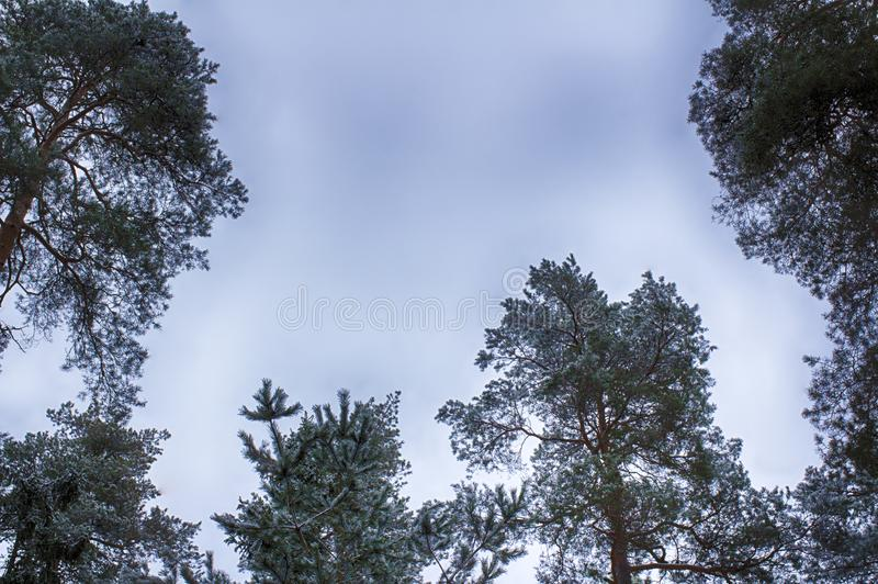 De winterhemel, boombovenkanten, kader Snow-covered takken stock afbeelding