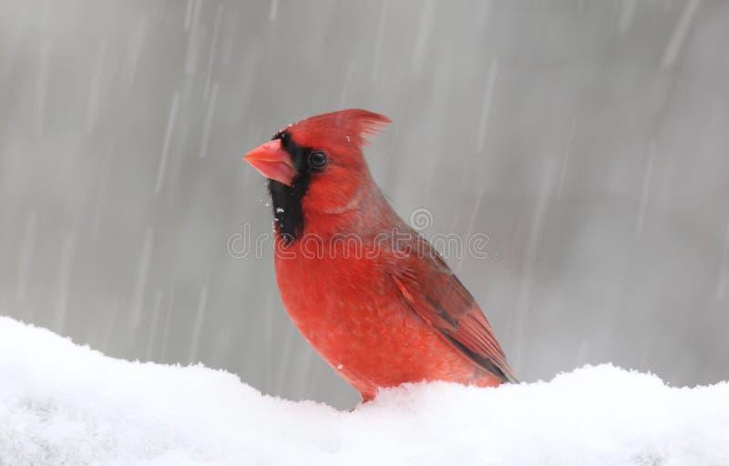 De winterkardinaal in een Blizzard stock foto