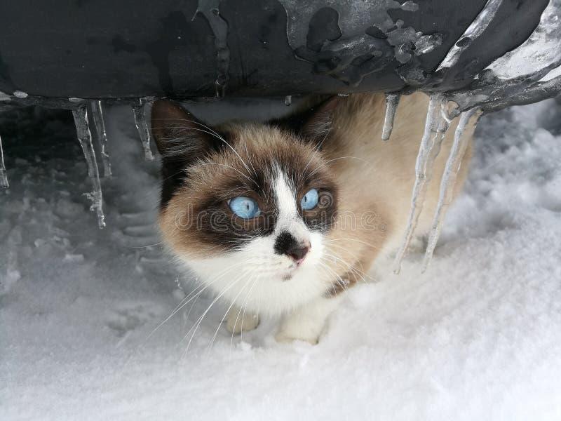 De winterkat stock fotografie
