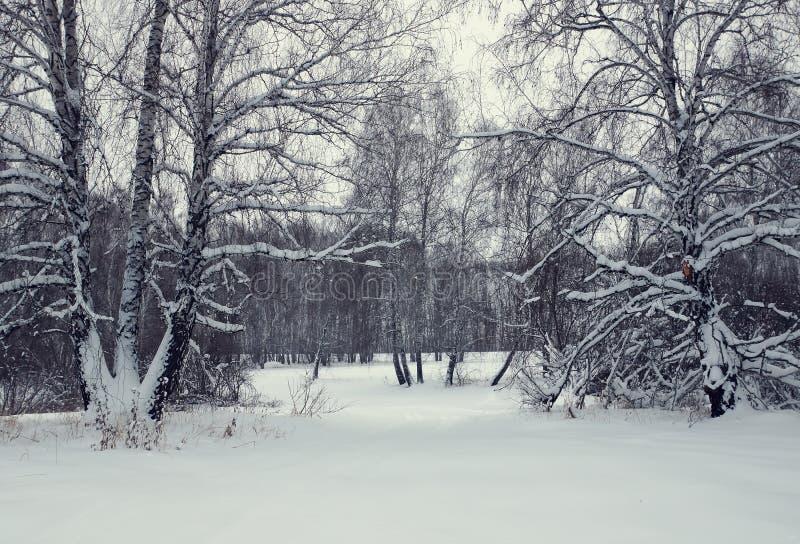 De winterlandschap met een berkbos na sneeuwval stock afbeelding