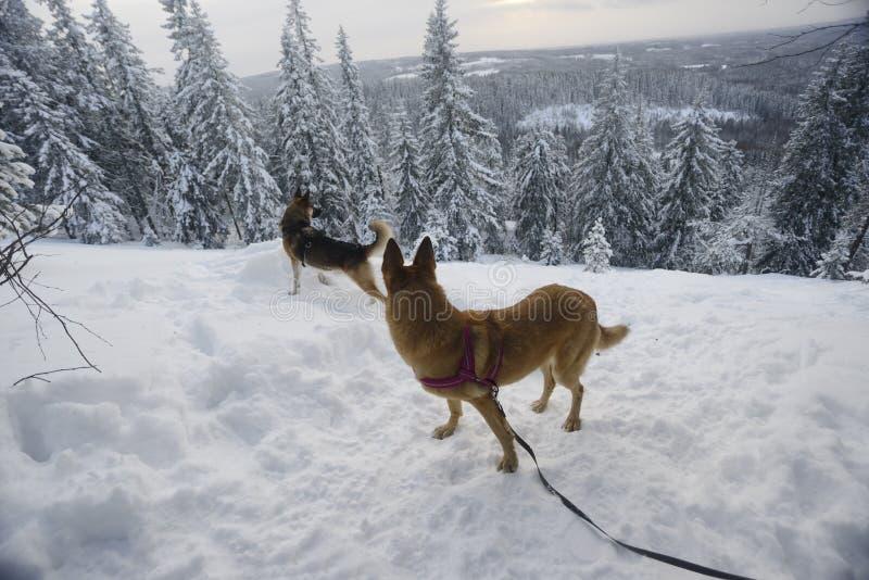 De winterlandschap met twee honden, Finland royalty-vrije stock afbeelding
