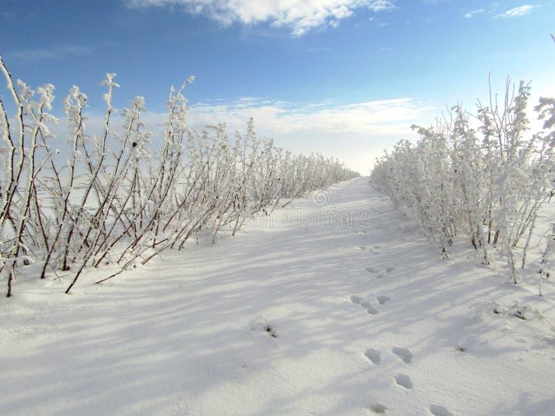 De winterlandschap van frambozenaanplanting met sporen van dieren, rabit voetafdrukken op sneeuwoppervlakte stock afbeelding