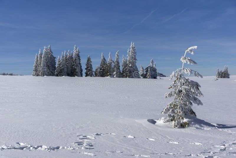 De winterlandschap van het gebied van Plateauplatoto bij Vitosha Berg, Sofia City Region, Bulgarije stock foto