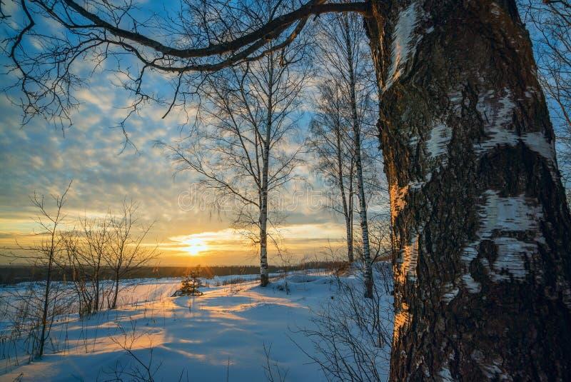 De winterlandschap, zonsondergang onder de berken stock foto's