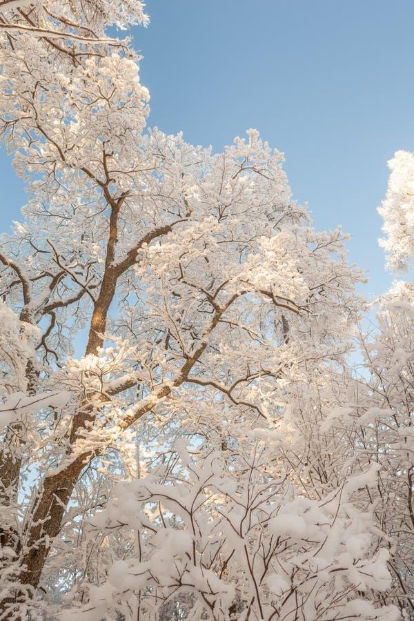 De winteroude wijven van bomen. stock foto's