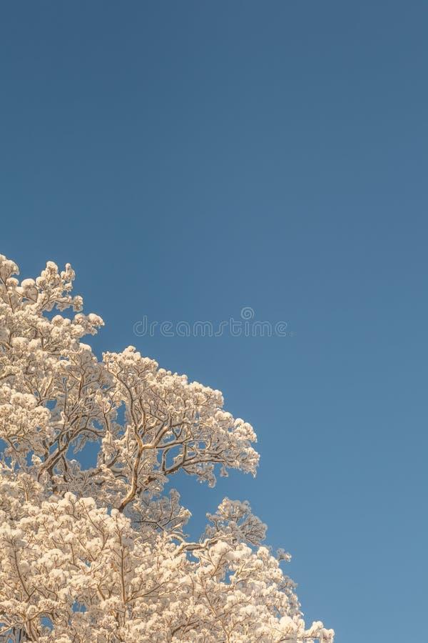 De winteroude wijven van bomen. royalty-vrije stock foto