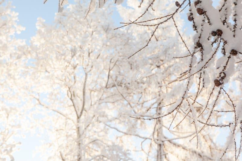 De winteroude wijven van bomen. royalty-vrije stock foto's