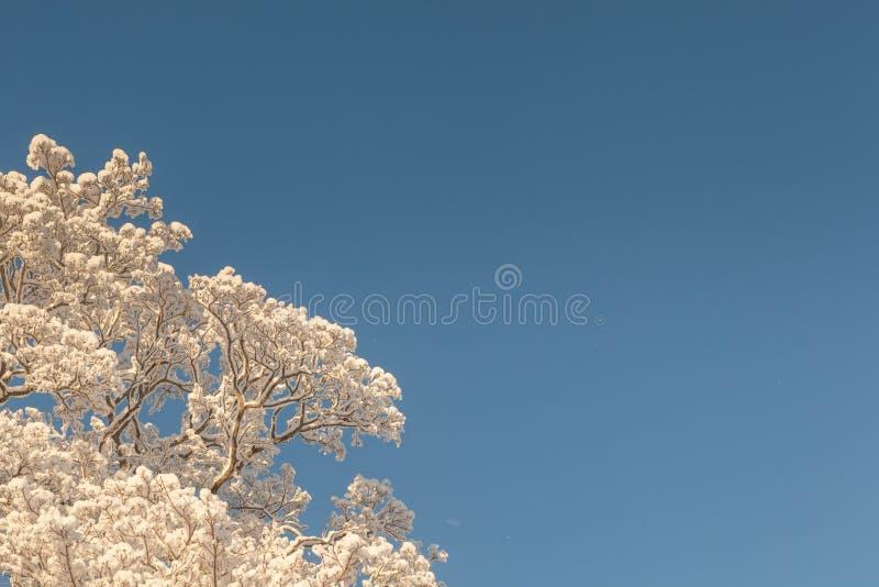 De winteroude wijven van bomen. stock afbeeldingen