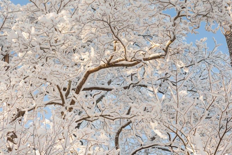 De winteroude wijven van bomen. royalty-vrije stock afbeelding