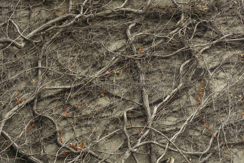De winterpatroon van de klimopinstallatie stock afbeeldingen