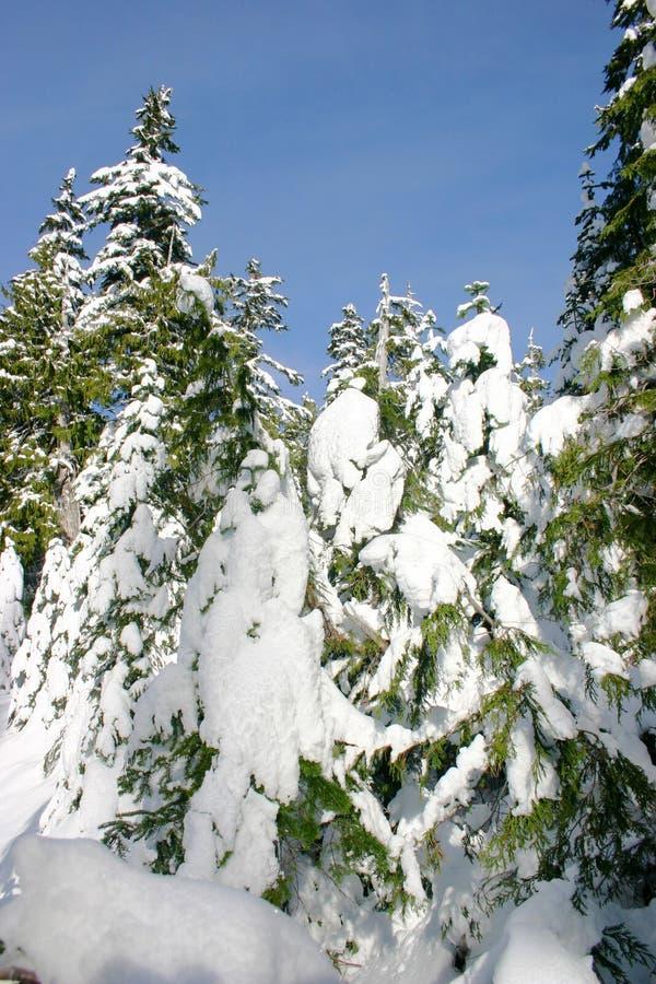 De winterpijnbomen van Backcountry stock afbeeldingen
