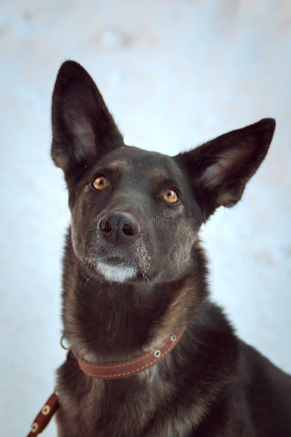 De winterportret van een grote bruine hond met amberogen royalty-vrije stock fotografie