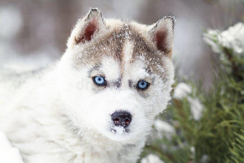De winterportret van een leuk blauw-eyed schor puppy tegen een achtergrond van sneeuwaard in het bos royalty-vrije stock afbeeldingen