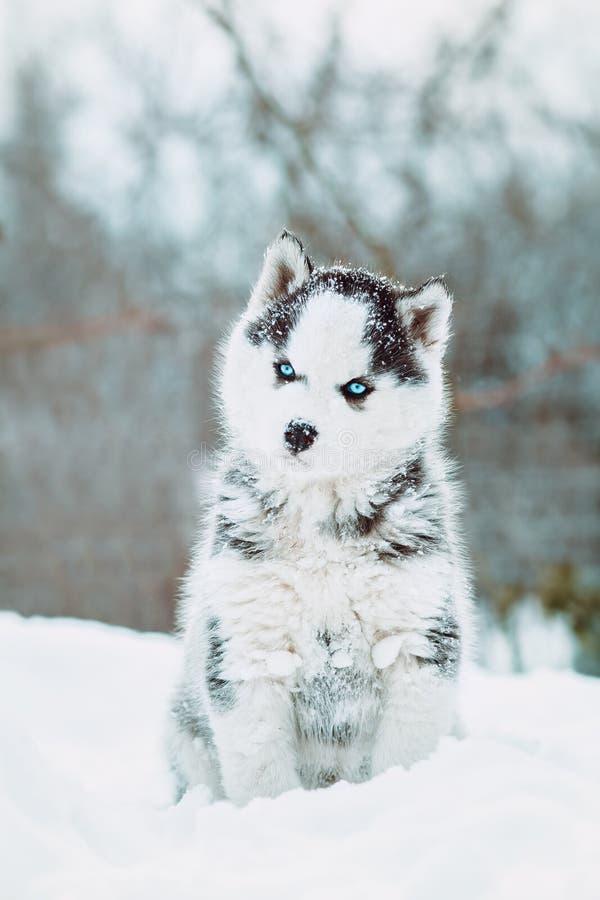 De winterportret van een leuk blauw-eyed schor puppy tegen een achtergrond van sneeuwaard in het bos royalty-vrije stock fotografie