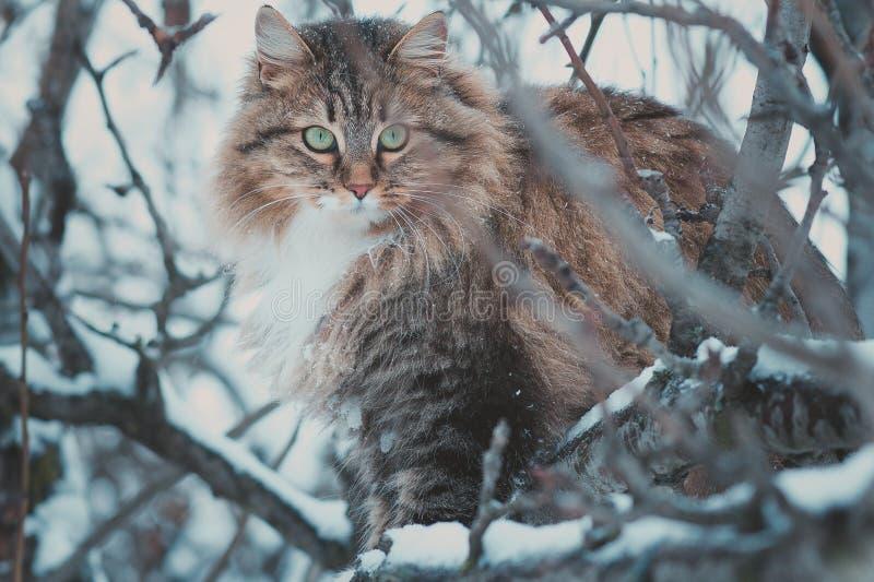 De winterportret van een mooie Siberische kat royalty-vrije stock afbeelding