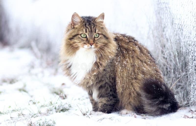 De winterportret van een Siberische kat stock afbeelding