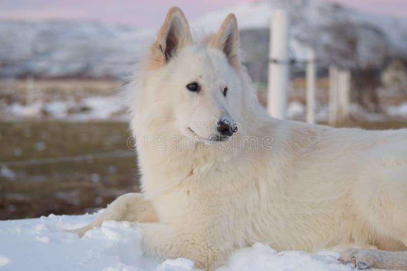De winters Witte Shepard royalty-vrije stock foto