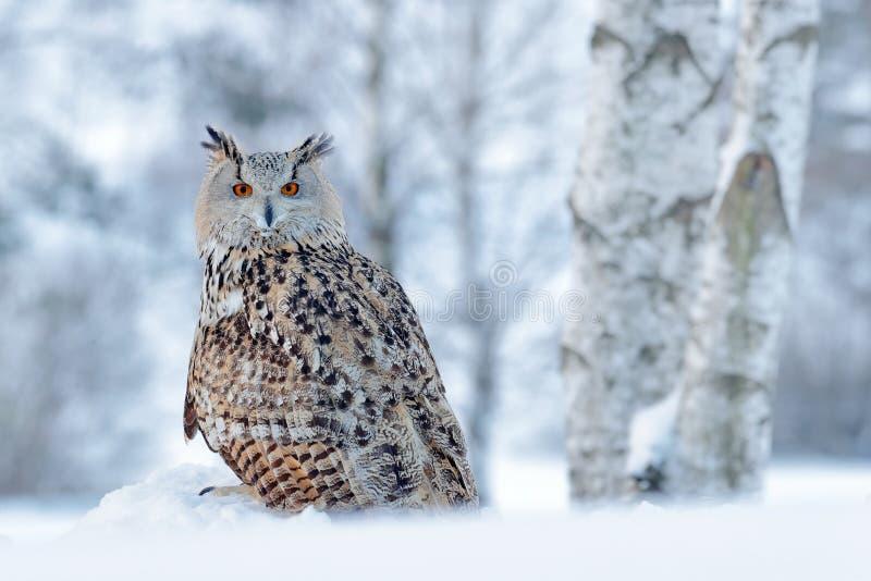 De winterscène met uil Groot Oostelijk Siberisch Eagle Owl, Bubo-bubosibiricus, die op heuveltje met sneeuw in de bosberkboom zit royalty-vrije stock fotografie