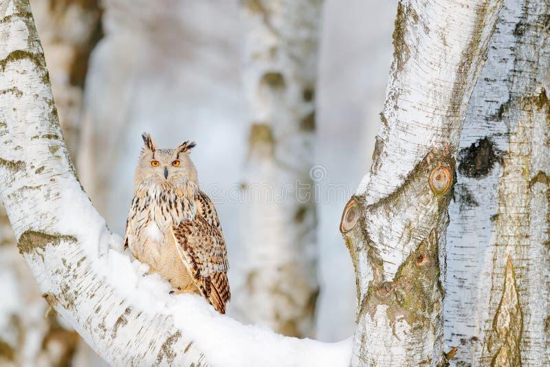 De winterscène met uil Groot Oostelijk Siberisch Eagle Owl, Bubo-bubosibiricus, die op heuveltje met sneeuw in de bosberkboom zit royalty-vrije stock afbeelding