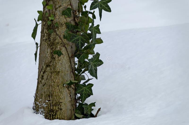 De winterscène van boomstam en klimop met sneeuw in park, Sofia wordt behandeld dat stock foto