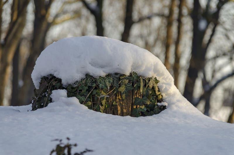 De winterscène van boomstam en klimop met sneeuw in park, Sofia wordt behandeld dat royalty-vrije stock fotografie