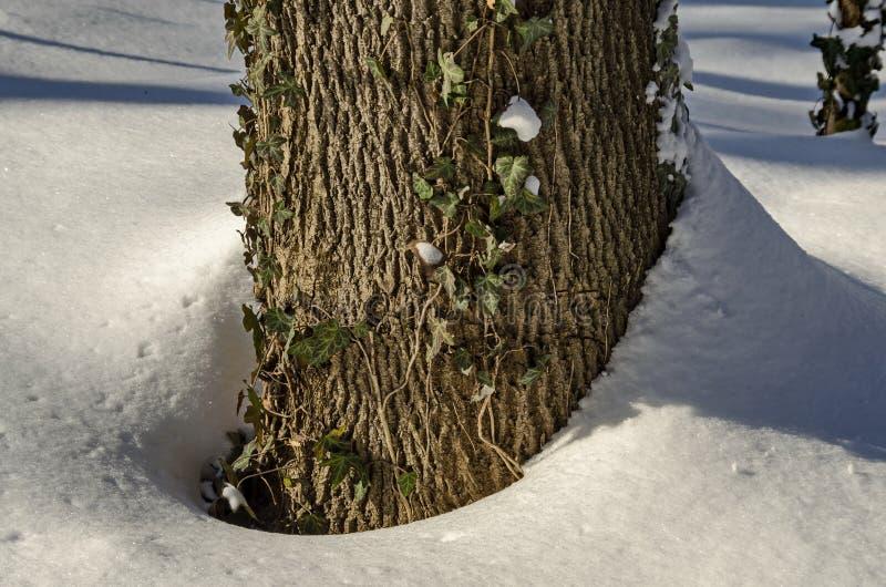 De winterscène van boomstam en klimop met sneeuw in park, Sofia wordt behandeld dat stock afbeelding