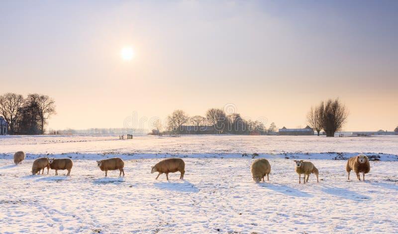 De winterschapen stock afbeelding